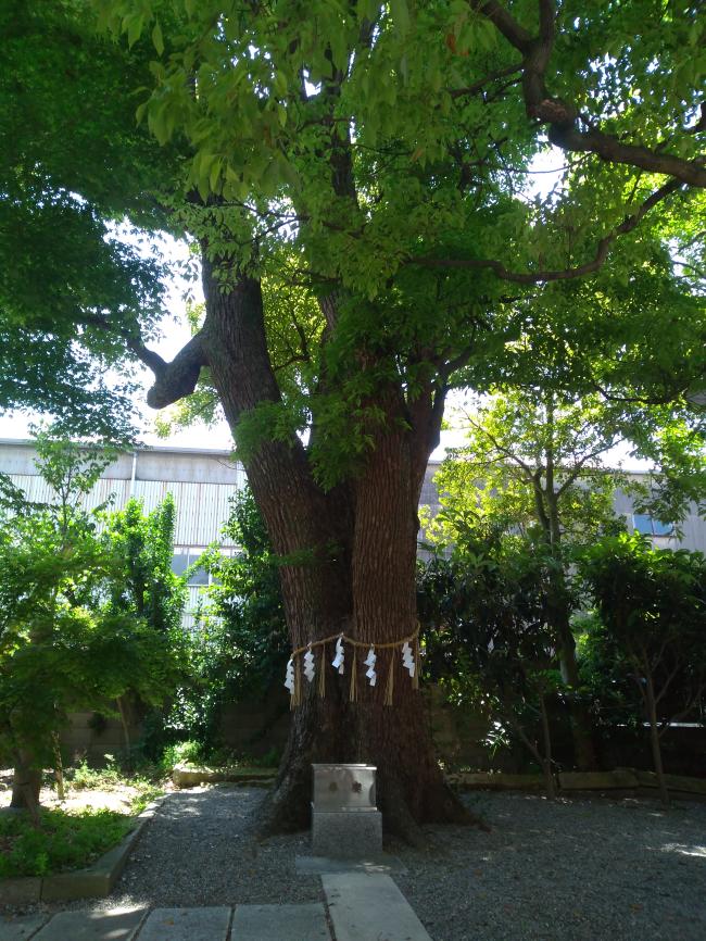 高龗神社御神木